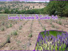 Giresunda Lavanta Bahçesinde İlk Çiçekler Açtı