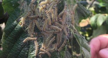Kandıra'da Fındıkta Amerikan Beyaz Kelebeği Tehdidine Karşı Uyarı